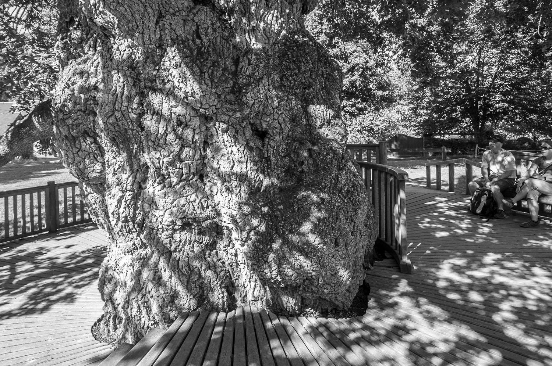 Le Chêne à Guillotin, Brocéliande, Bretagne 2017
